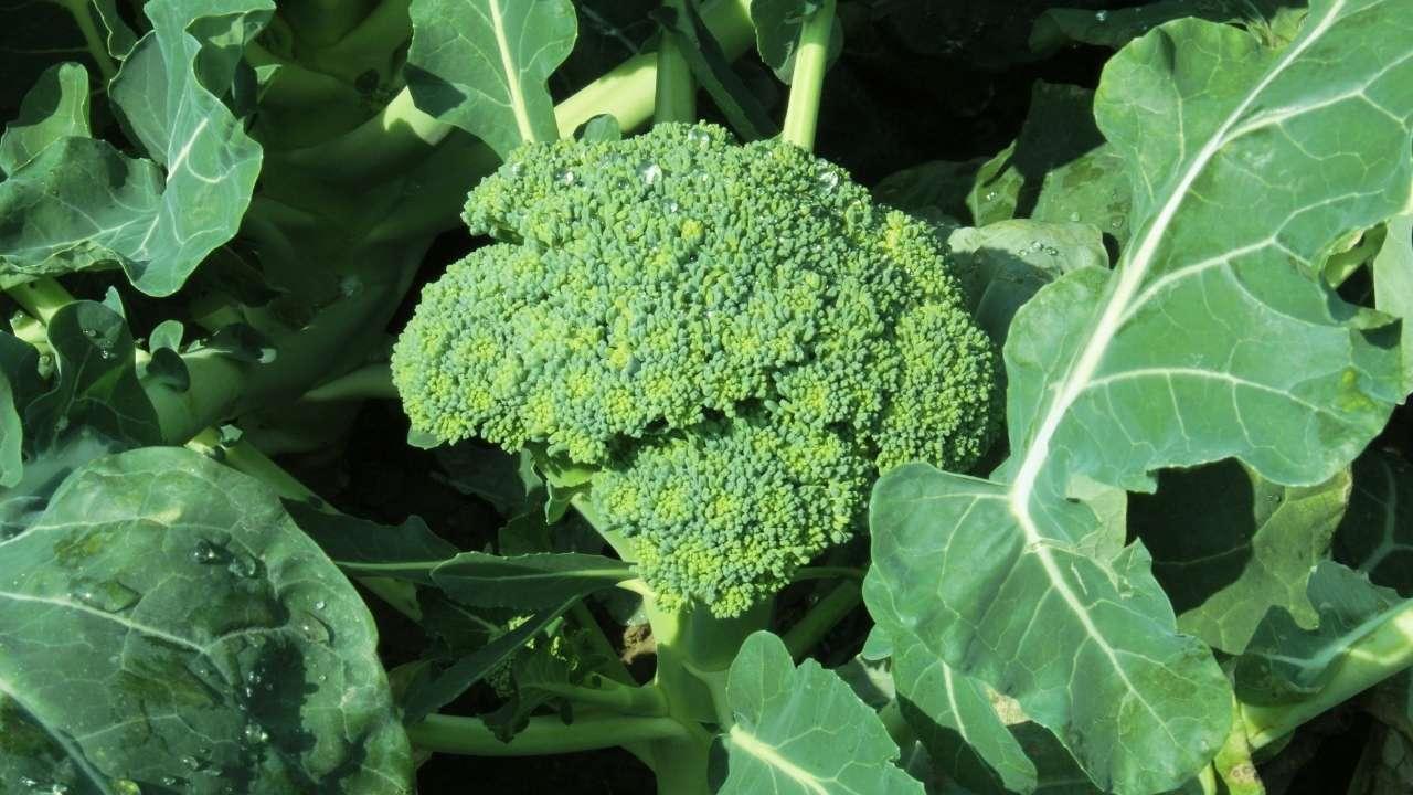 broccoli errori